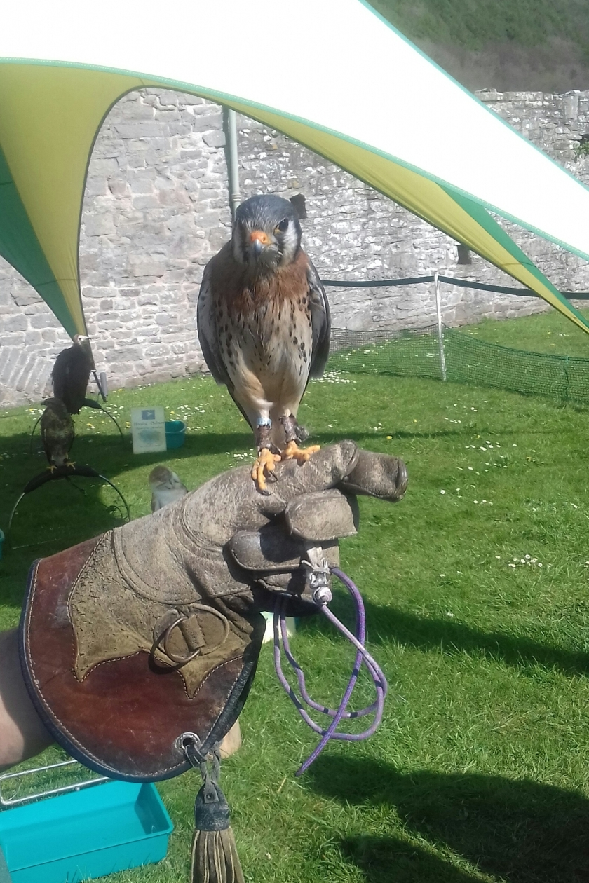 A kestrel on the gloved hand of the falconer