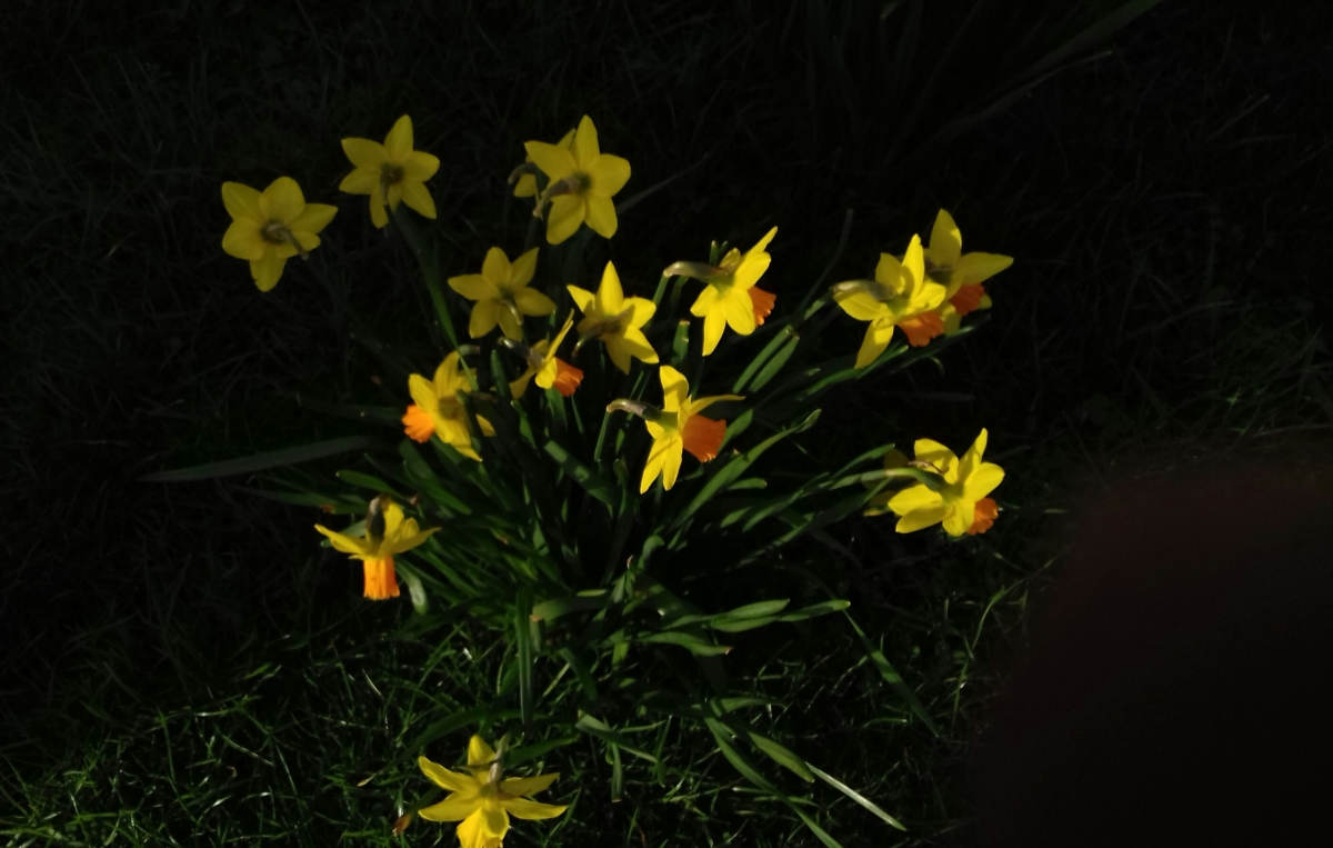 Daffodils for St. David's day