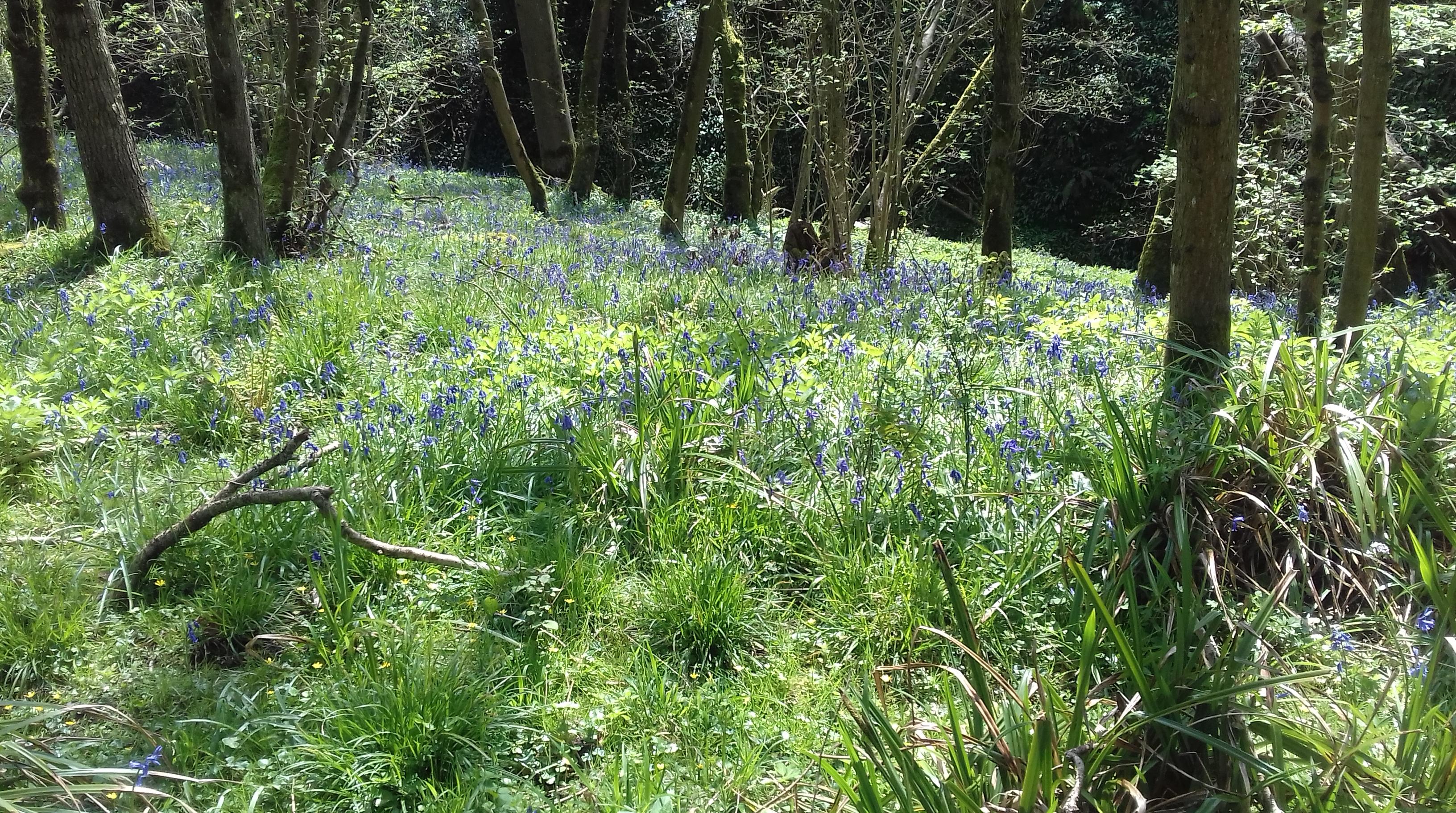 Bluebells under the trees #Folly farm #Avon Wildlife trust