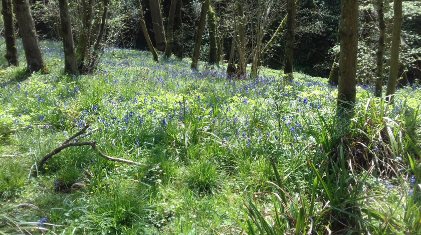 Bluebells under the trees #Folly farm #Avon Wildlife trust