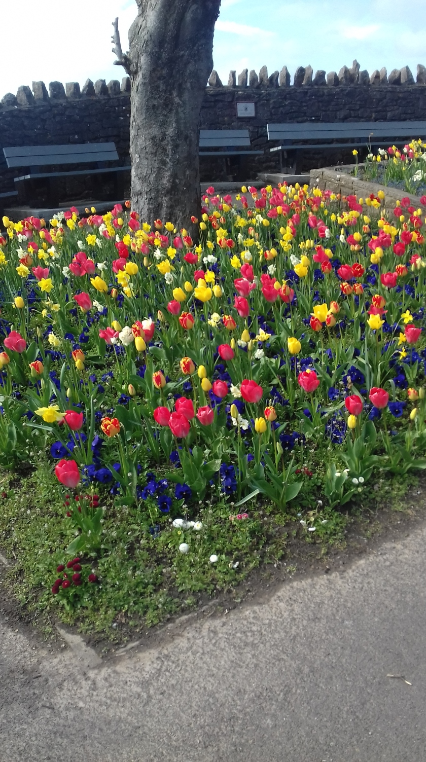 Tulips in a flower bed #Sunday stills
