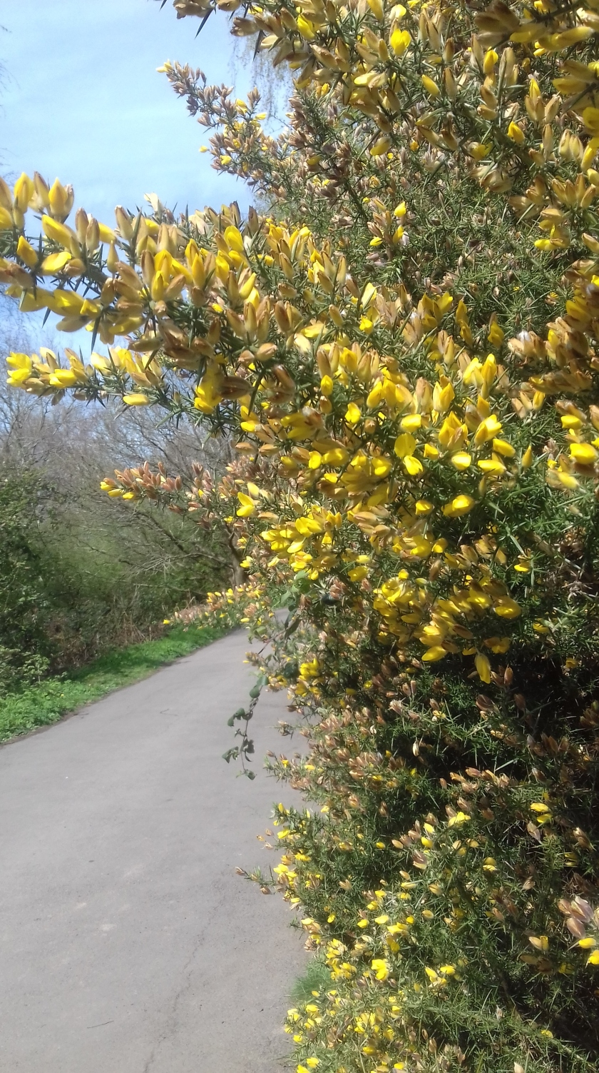 Gorse bush at the side of the road.