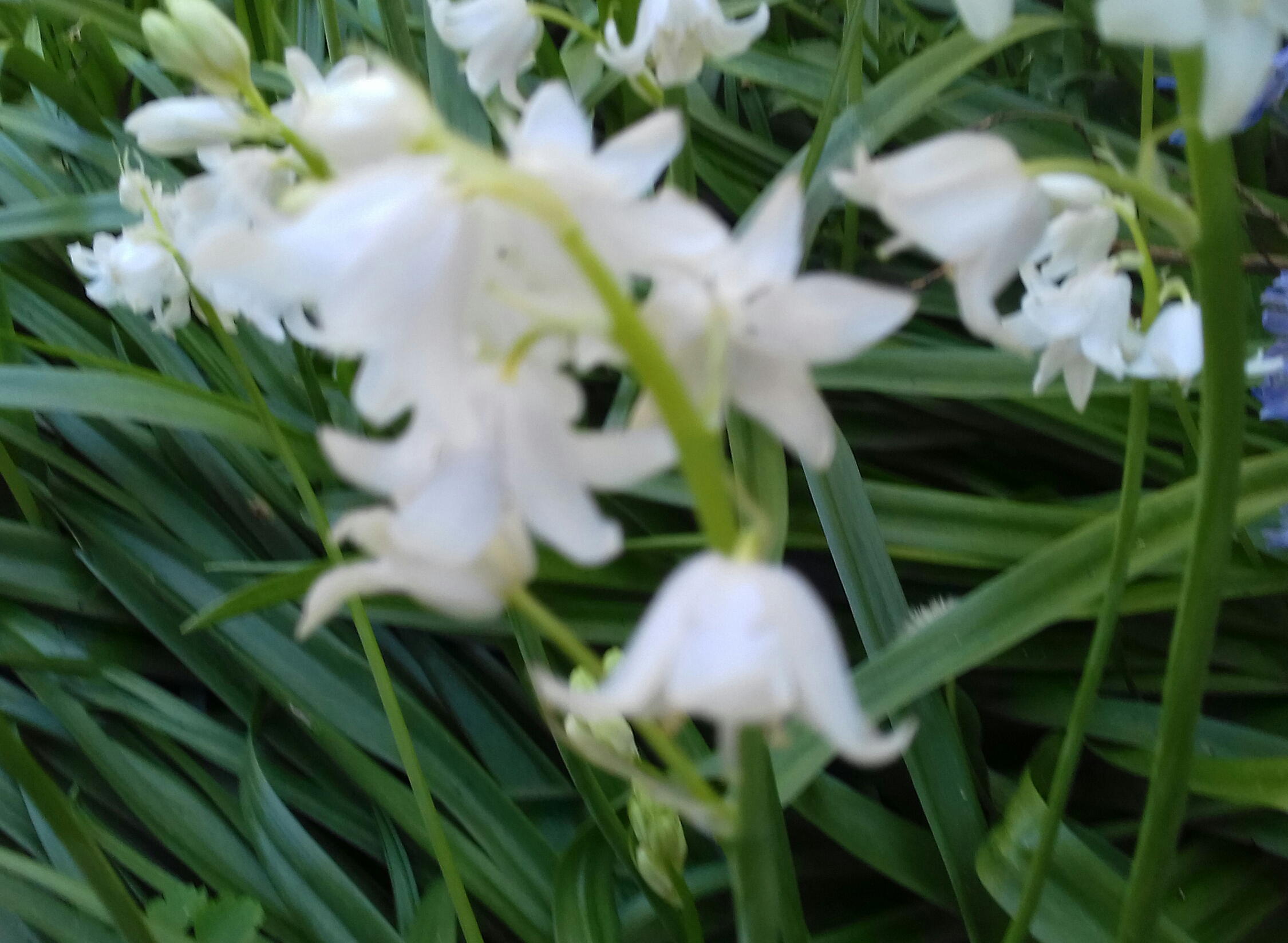 White bluebells #fotd