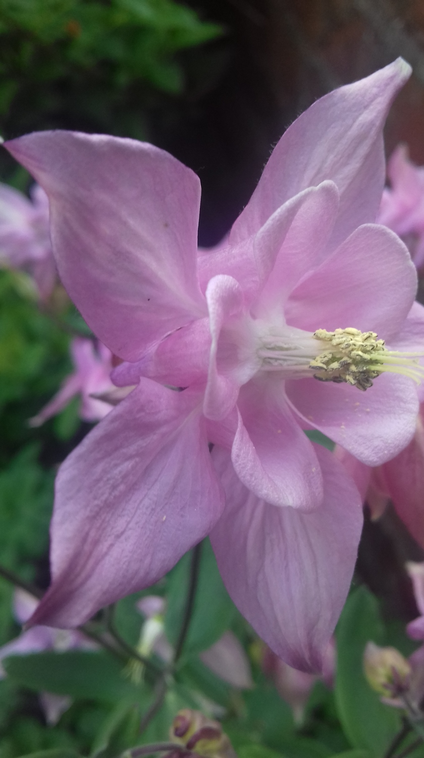 Pink flower of grandma's bonnet #FOTD