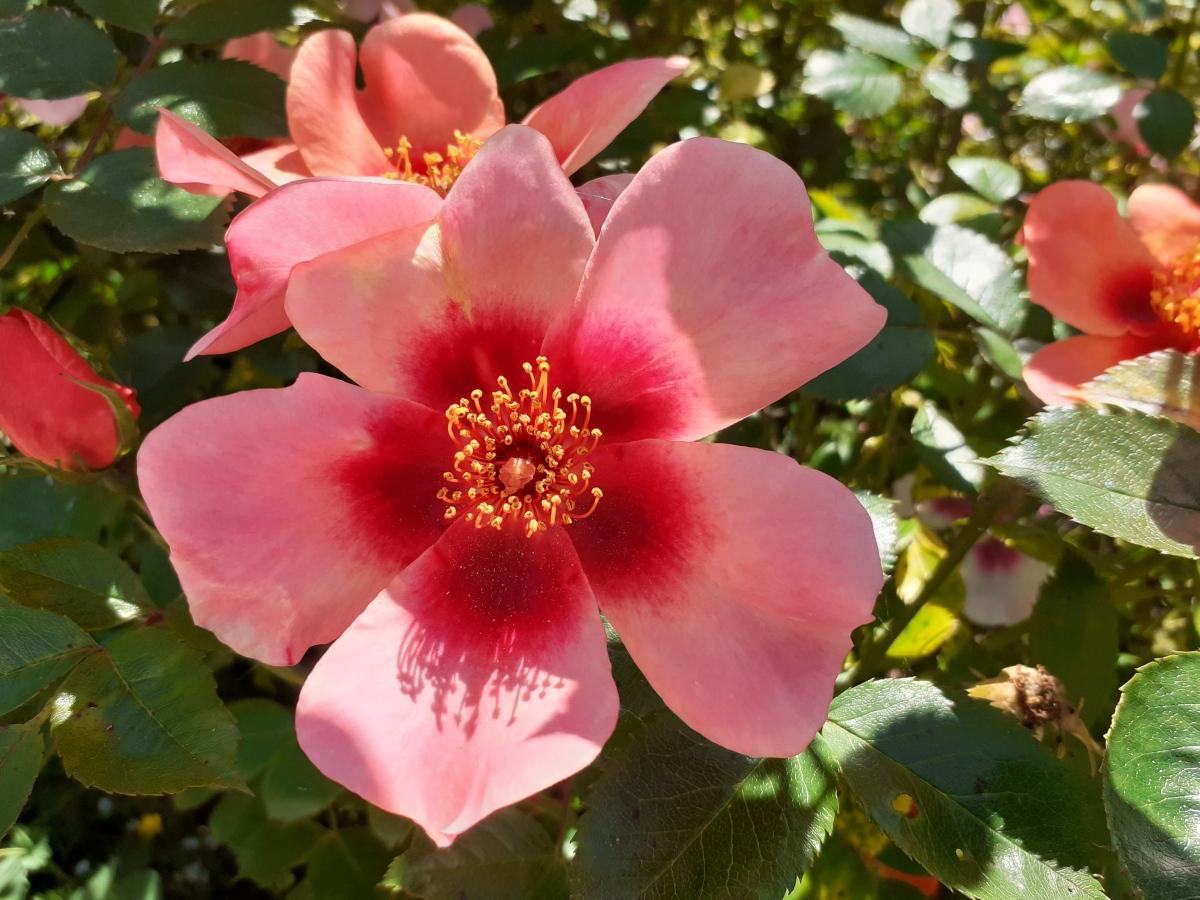 Roses aren't always red #sundaystillspink